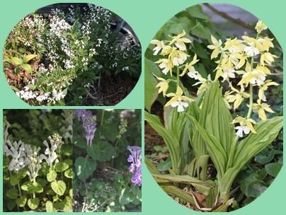 姫空木(左上)  立浪草の白と紫(左下)  キエビネ(右)