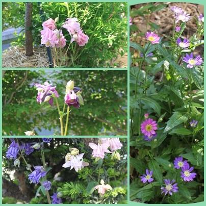 オダマキは繁殖力も旺盛で種類も多い(左)  都忘れのピンクと紫(右)  ピンクはなかなか増えない