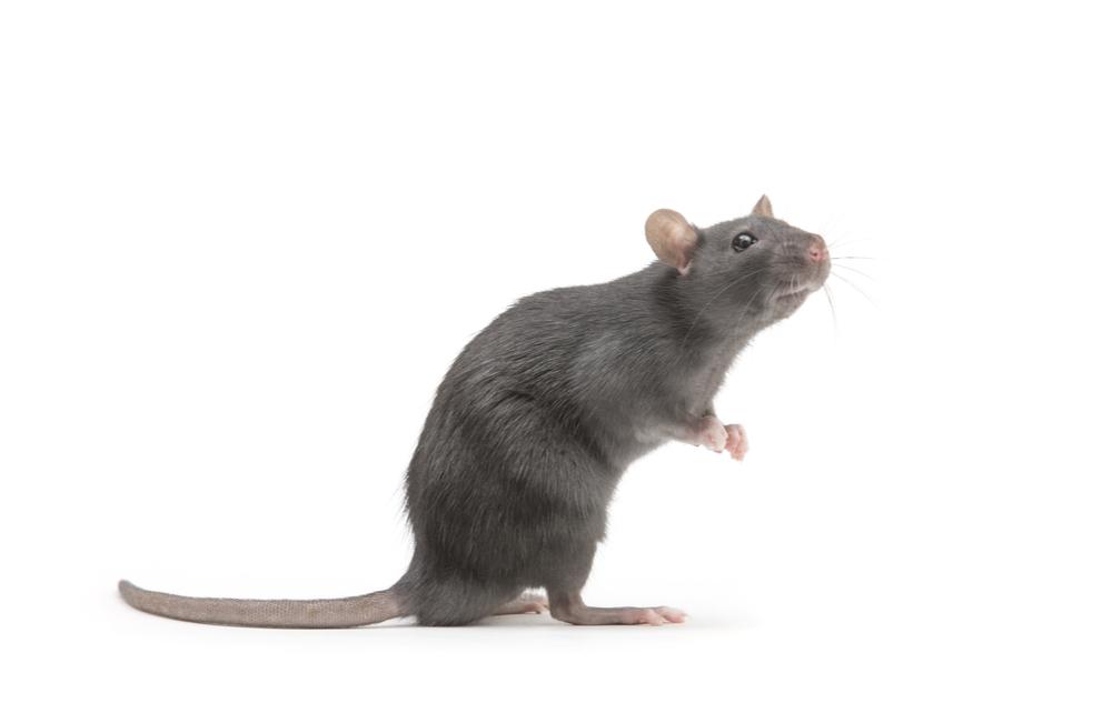 SynAbs brings rats to antibody market