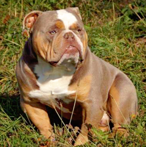 Exotic Bulldog Lilac Tri