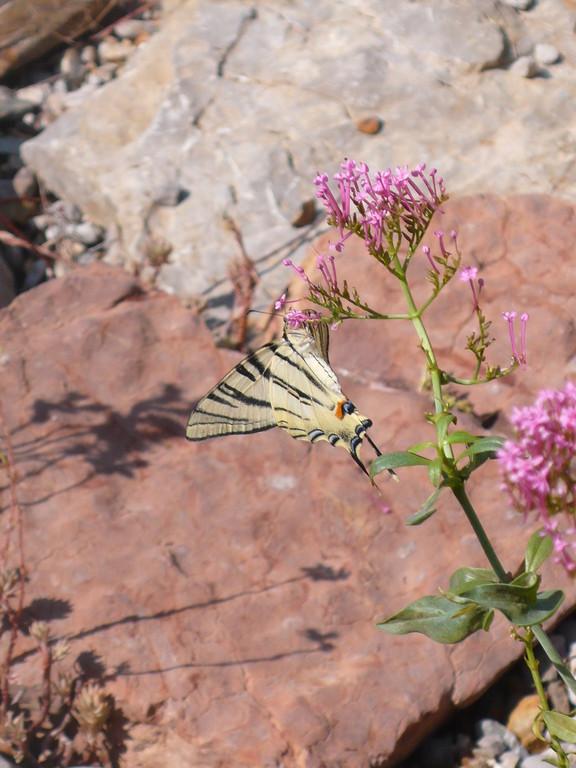 Papillon au jardin