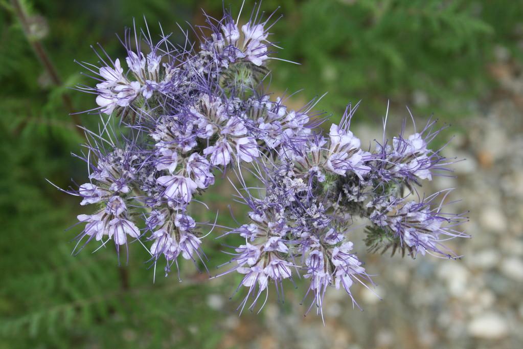 Phacélie du jardin - Chambres d'hôtes Le Cadran Solaire à Cabrières