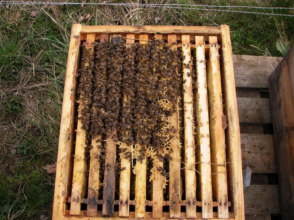 Bienen in der Wintertraube.