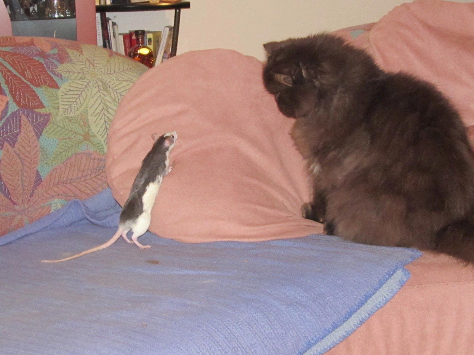 Die Ratte des Mitbewohners