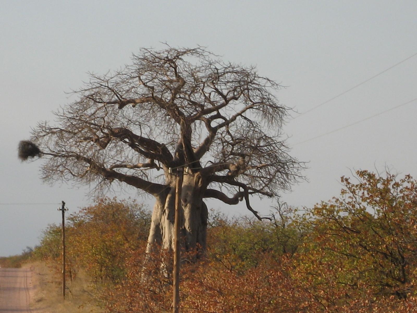 Namibia, Baobab Baum