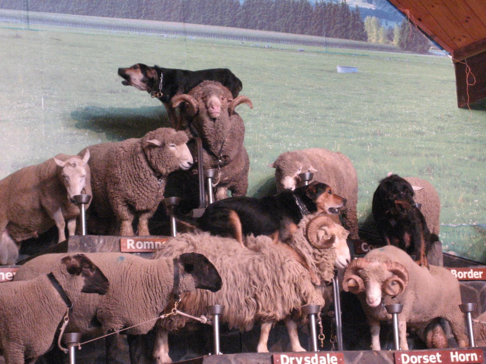 Schaf Show in Neuseeland