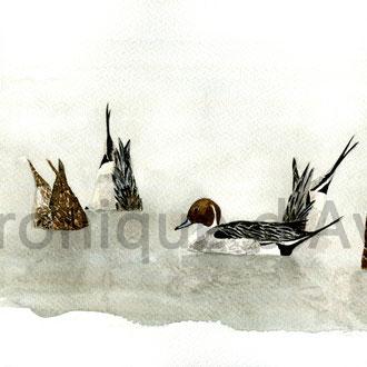 Aquarelle Canards Véronique d'Avout peintre animalier gibier d'eau