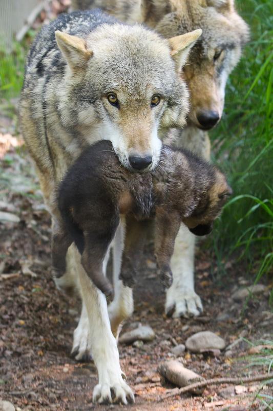Wolf, Jungtier, Rudel, Raubtier, Tierpark, Dälhölzli, Zoo, Bern