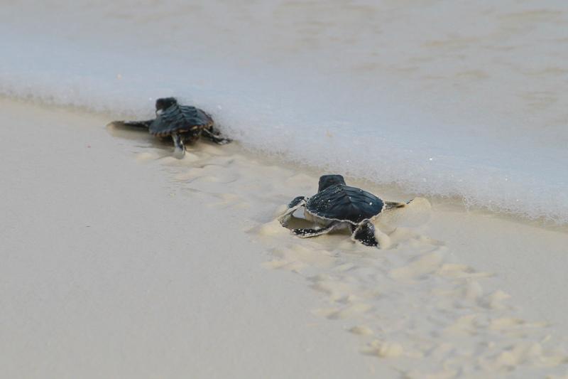 Junge Meeresschildkröte auf dem Weg zum Meer in Cayo Largo, Kuba.