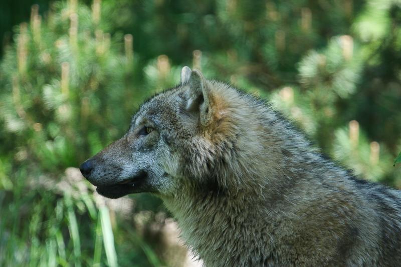 Wolf, Tierpark, Bern, Dälhölzli, Raubtier,