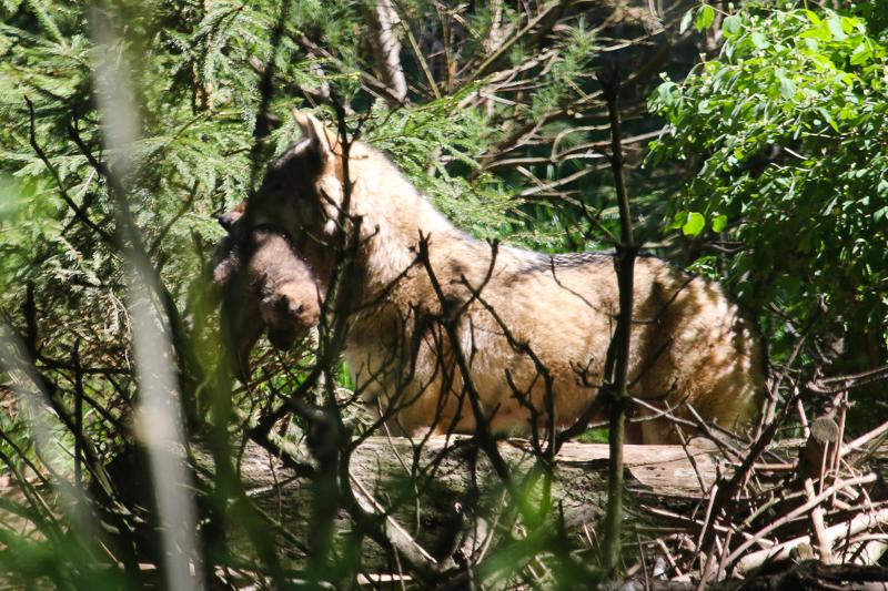 Wolf, Jungtier, Rudel, Tierpark, Dälhölzli, Bern, Zoo, Gehege