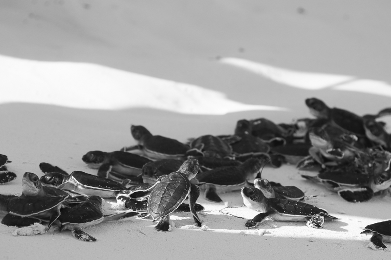 Frisch geschlüpfte Jungtiere von Meeresschildkröten in Kuba.
