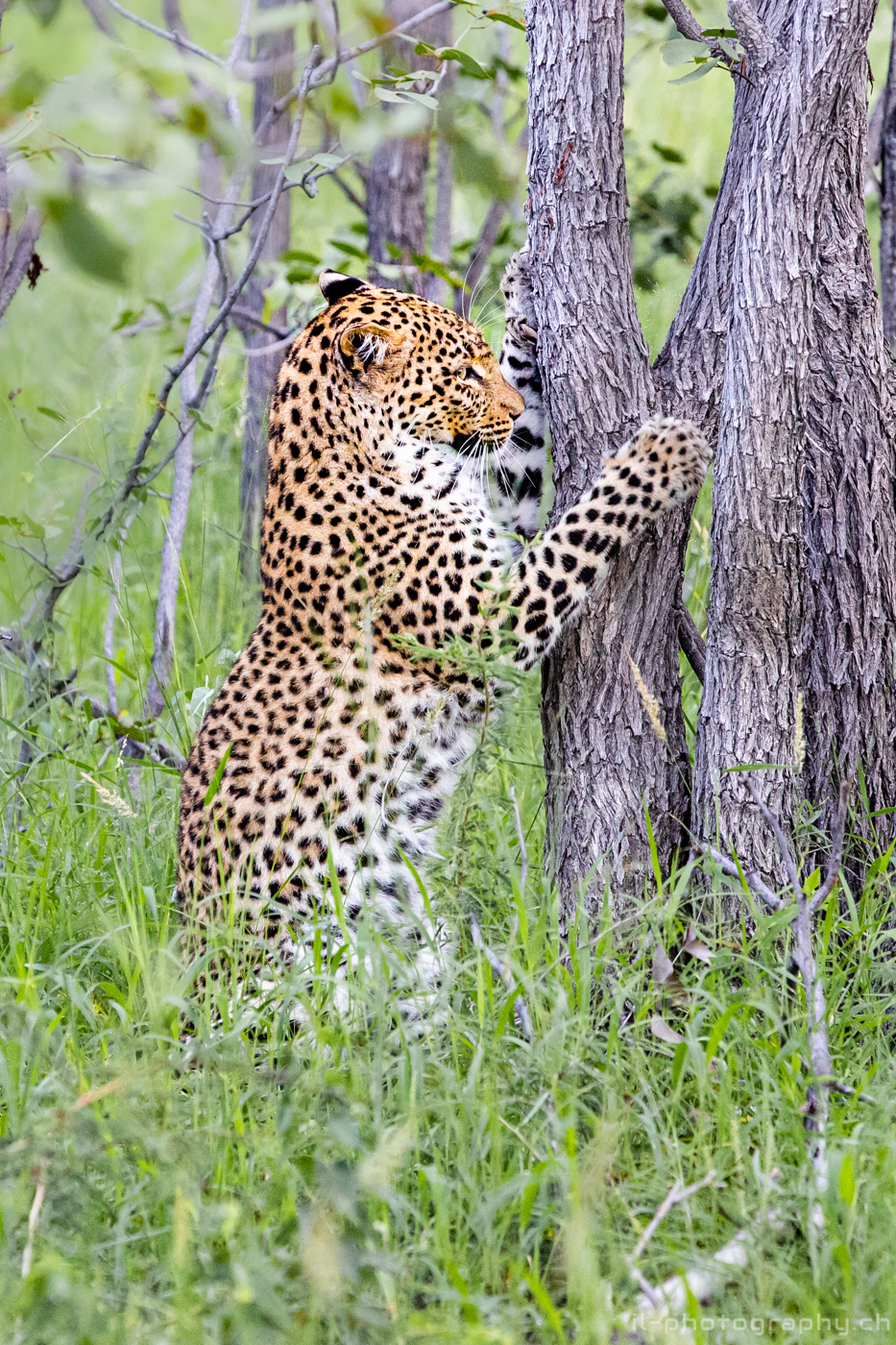 Leopard in the green forest of the Etosha national park during a safari in namibia.