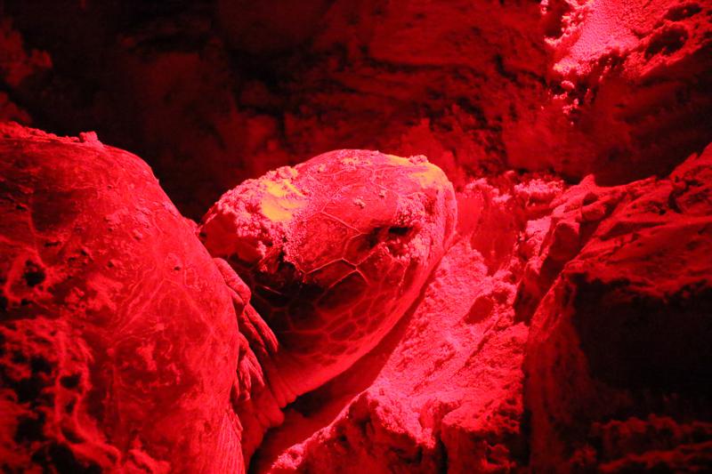 Eine Meeresschildkröte in Kuba vergräbt Ihre Eier.
