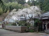客殿脇枝垂桜