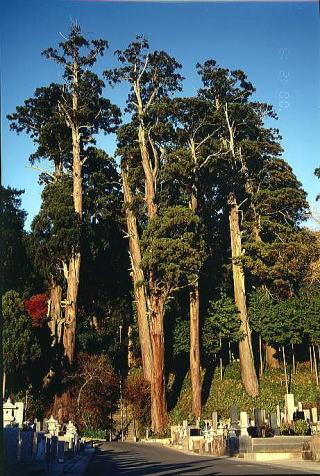 山門より見た参道在りし日の大杉