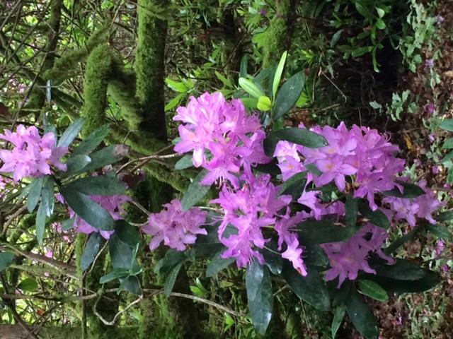 variété de rhododendrons