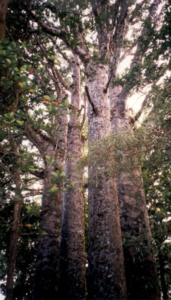 Kauri  (Riesenurwaldbäume)