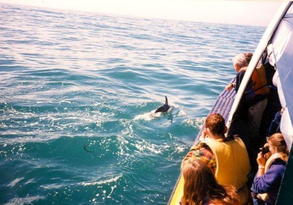 Dusky Delfine vor Kaikoura