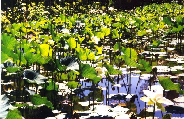 Lotusteich im Pampelmousse Garden