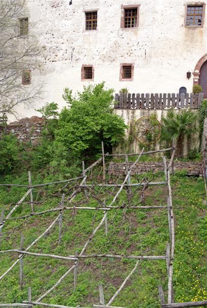 die größte Weinrebe Europas