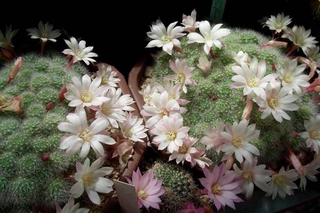 Aylostera albiflora