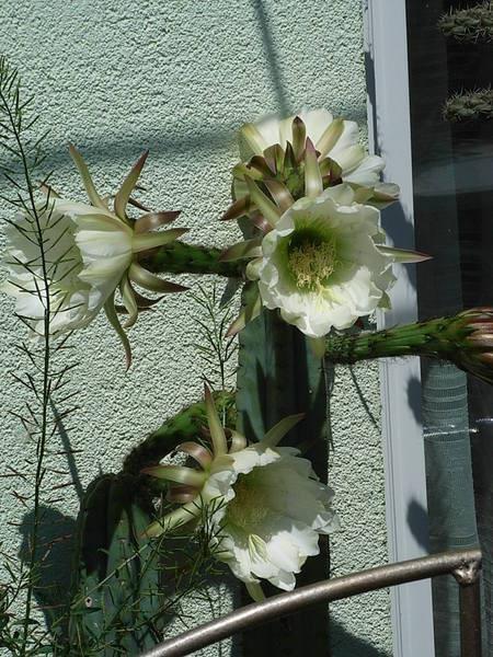 Trichocereus pachanoii