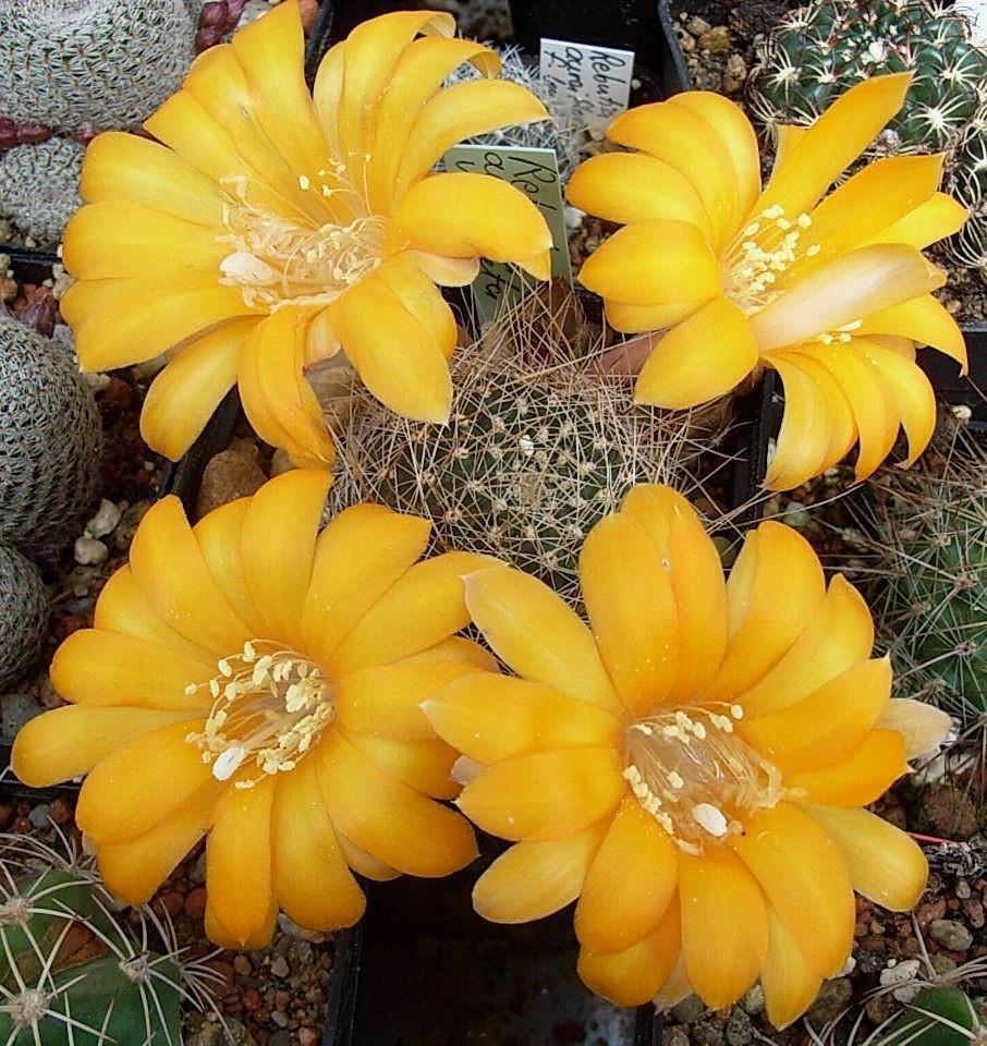 Mediolobivia aureiflora v.longiseta - Gehört zu R. einsteinii