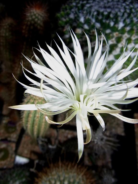 Setiechinopsis mirabelis