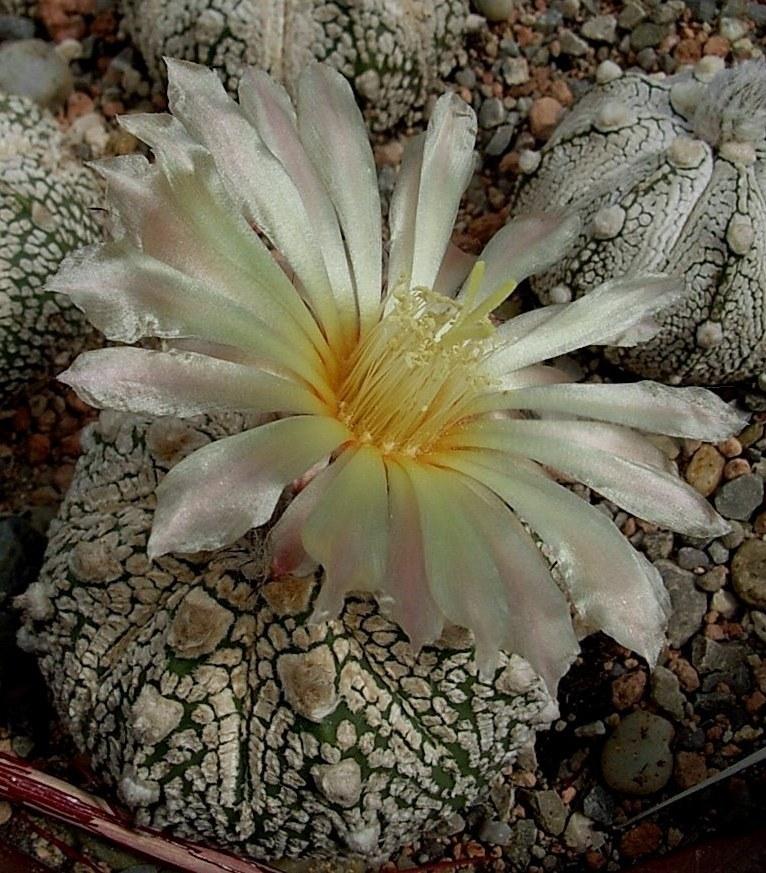 Astrophytum Hybride X00I,