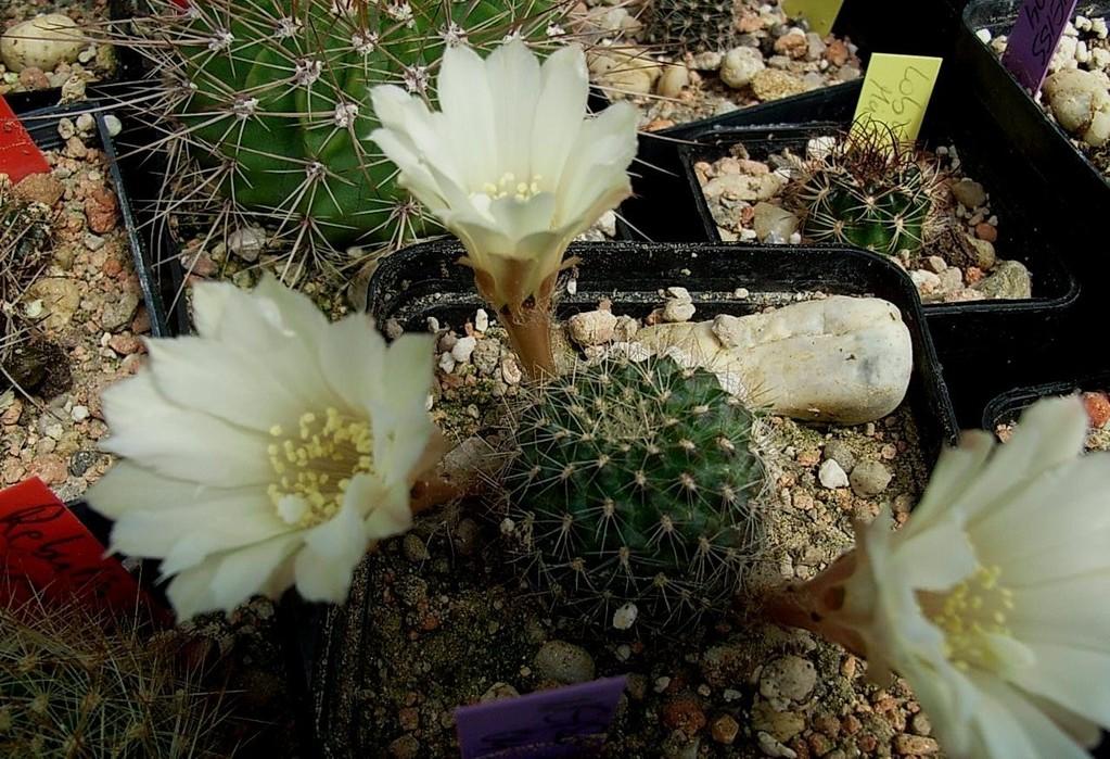Mediolobivia aureiflora v. longiseta f. eburnea