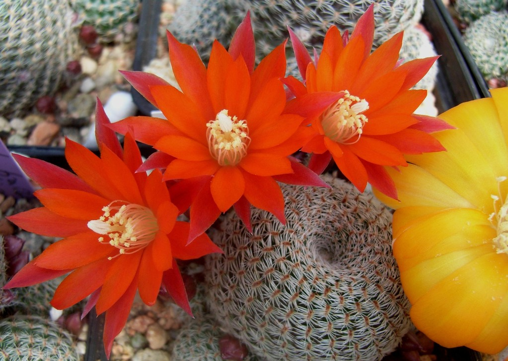 Rebutia albopectinata