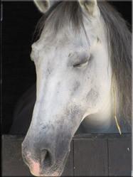 Eén van de paarden uit de stallen naast het kasteel. De hoofdrolspelers in de dagelijkse middeleeuwse shows die bij het kasteel worden opgevoerd.