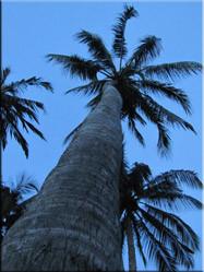 De palmbomen die 7 km. lange stranden van Mui Né sieren zijn langs de gehele kustlijn terug te vinden en geven de kustplaats een echt exotisch tintje.