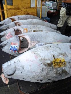 Grosse (ca.100kg) eingefrorene Tunfische