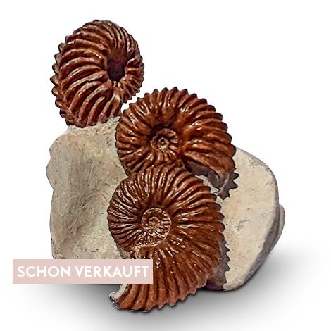 Dekorative Ammoniten asu Frankreich in Muttergestein.