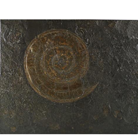 Haropceras-Fossil in Posidonienschiefer als Wandschmuck.