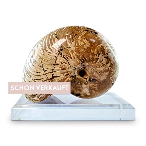 Großerfossiler Nautilus als repräsentatives Sammel- oder Dekorationsobjekt
