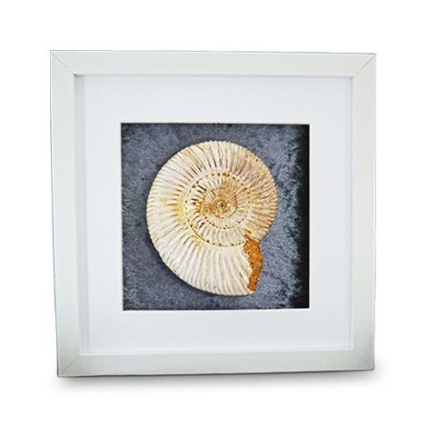 Polierter Ammonit. Weiß Gerahmt mit Passepartout.