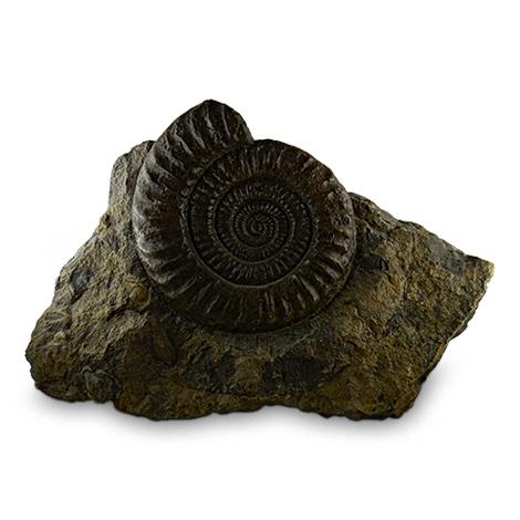 Dekorativer Ammonit in Muttergestein.