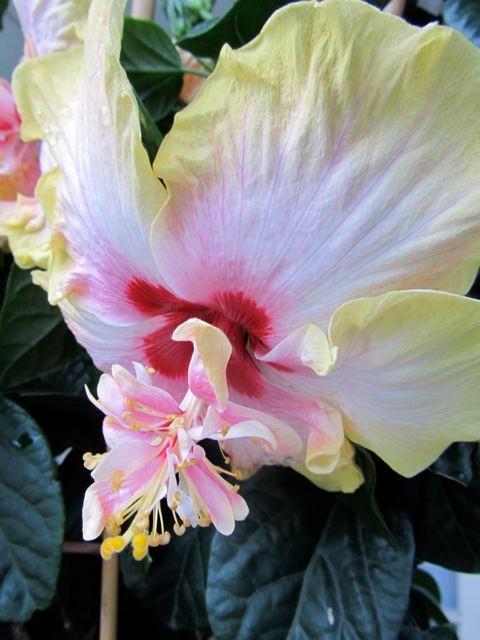 O mon bel hibiscus au soleil...