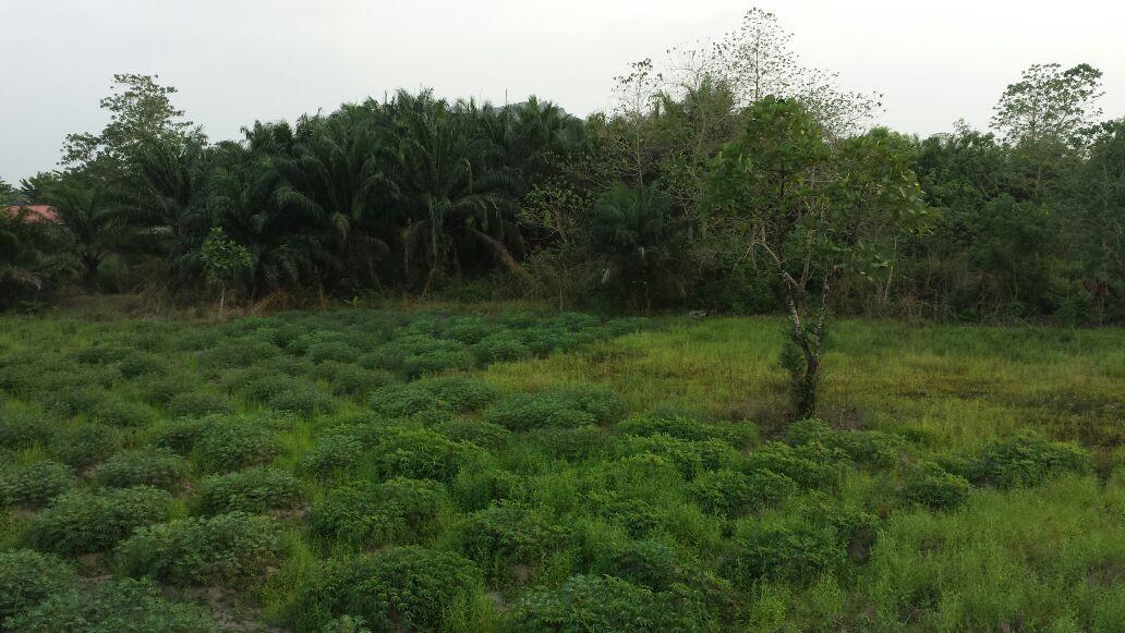 Habitat und Fundort Zonocerus variegatus - Sierra Leone, Westafrika