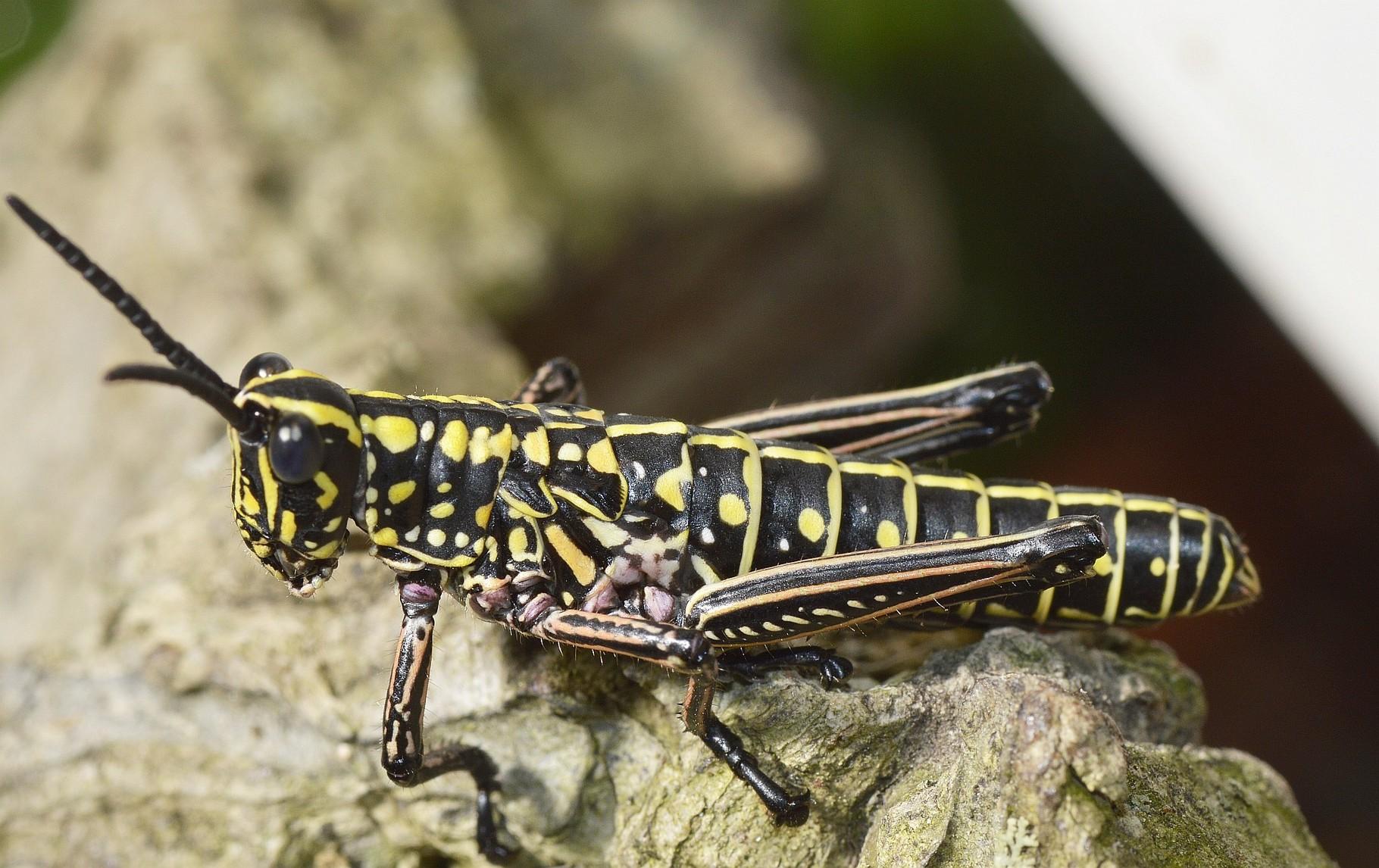 Phymateus baccatus L5