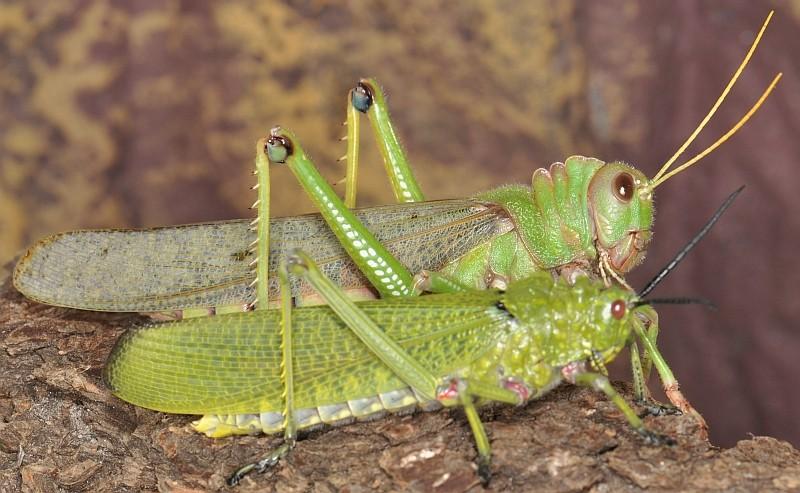 Vergleich der Weibchen von Tropidacris collaris und Phymateus viridipes