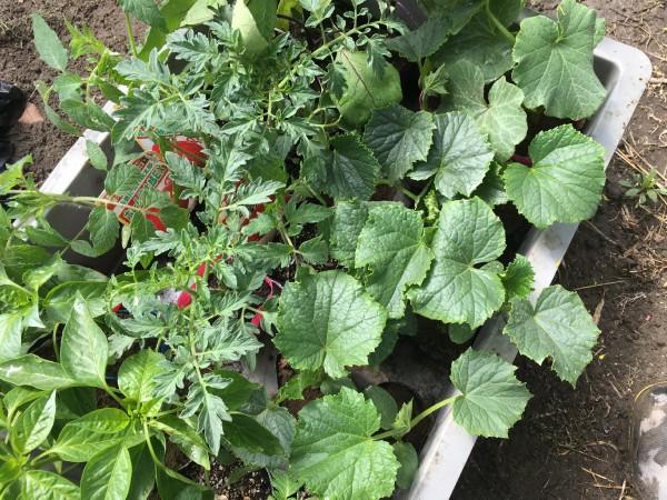野菜苗 建築家の畑 長野県松本市 安曇野市 半農半建