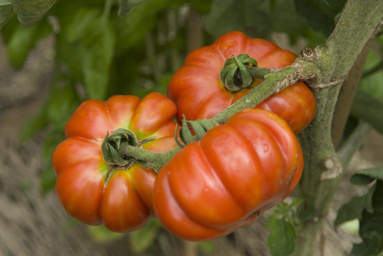トマト/コストルト・フィオレンティノ