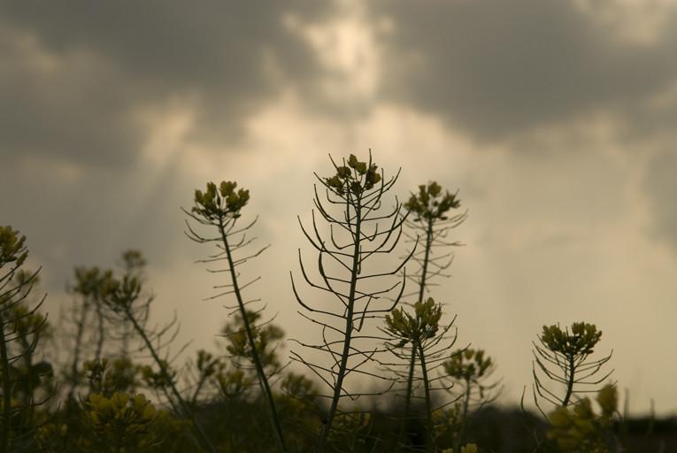 黄金カブの花