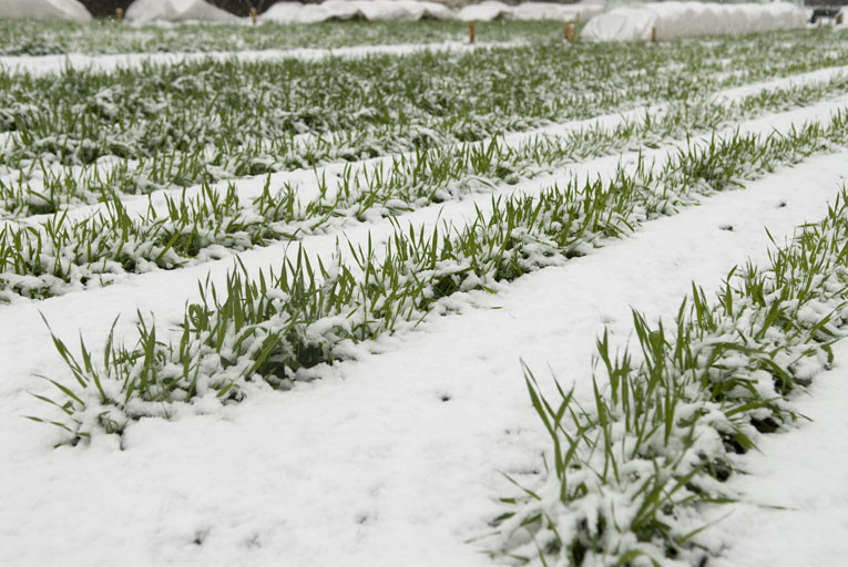 雪にも強い小麦