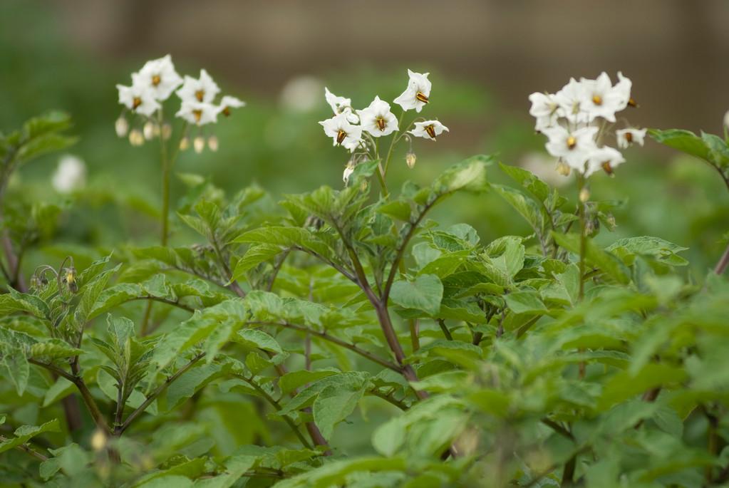 紫ジャガイモ「シャドー・クイーン」の花その2