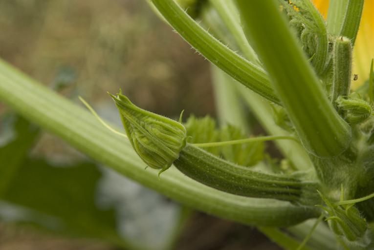 ズッキーニの雌花のツボミ/ツボミの段階でも結構なモノ持ってます